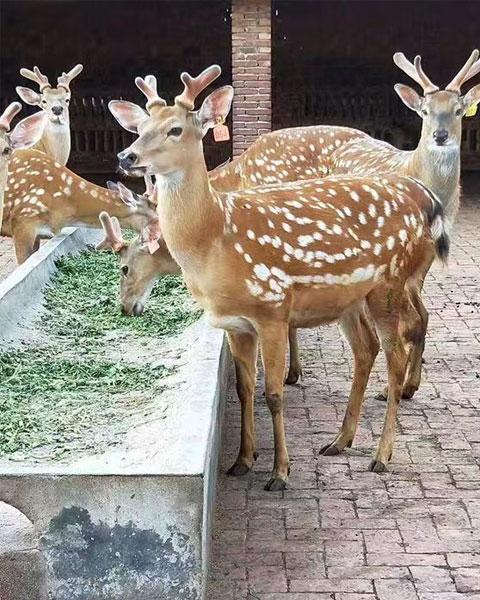上海梅花鹿